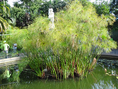 Papyrus and Statue in Pond, Company's Garden, Cape Town, South Africa (dannymfoster) Tags: africa southafrica capetown companysgarden park plant papyrus pond statue