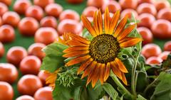 the tomato bokeh  (Dotsy McCurly) Tags: tomato tomatoes bokeh sunflower flower plant nature beautiful nj farm stand dof nikon d750