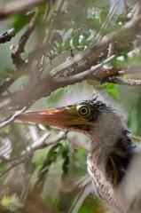 Butorides-virescens-Green-Heron_03 (Izzysan) Tags: neognathae pelecaniformes dominicaphotography dominicaphoto dominicaimage birds nikon nikondslr nikonslrgroup ngc smithsonian animalplanet butorides virescens
