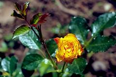 Rose bud (AdrianoSetimo) Tags: rosebud botoderosa yellow amarelo rose rosa roseira bokeh manuallens legacyglass canonfd canonfd50mm14 50mm flower flor olympusem10