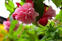 Fucsia doble (Tornasolar) Tags: flower colors natural flowers flores chile quilpue naturaleza fleurs  blumen fiori blume  blommor nikon
