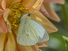 Green-eyed white on Dahlia (PriscillaBurcher) Tags: leptophobiaaripa leptophobia greeneyedwhitebutterfly mountainbutterfly mariposadelacol mariposablancadelacol mountainwhite mariposadeojosverdes pieridae butterfliesfromcolombia mariposasdecolombia l1460229