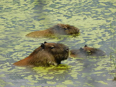 DSCN1965 (elliethorne) Tags: capybara swimming zoo water pond lake