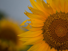 20160723-IMG_0017 (MandoCatDSM) Tags: sunflowers badger creek wildflowers sunrise