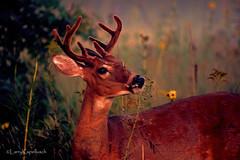 Mr. Rodgers (larry kapellusch) Tags: buck deer whitetail nature wildlife
