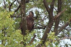 Juvenile bald eagle - Staten Island, New York (superpugger) Tags: statenislandbaldeagles bald eagles baldeagles newyorkcitywildlife lawrencepugliares lpugliares haliaeetusleucocephalus mtlorettouniquearea