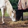 Ebony and Ivory [Nikon F5 Film] (Aviator195) Tags: kodak kodakfilm kodakektar kodakektar100 ektar ektar100 ektarfilm film filmphotography filmisnotdead filmphotos filmscan filmphoto nikon nikonfilm nikonf5 f5 epson epsonperfectionv550 epsonv550 v550 highquality highqualityfilmscan horses warriewood farm farmland blackandwhite horse stallion hay eating food square