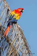 Scarlet Macaw (Ara macao). Guacamayo Rojo, Lapa. (Sergio Bitran M) Tags: scarletmacaw costarica 2016 ave psittaciformes psittacidae aramacao guacamayo rojo lapa bird loro