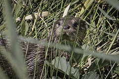 Round The Corner, And There Was An Otter! (me'nthedogs) Tags: otter catcott somerset levels