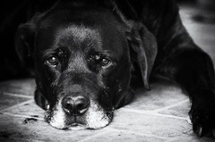 Sad Face (Re-edited) Remembering An Old Departed Friend (mrhethro) Tags: pentax pentaxk5 sadface sad sadeyes canine dog rikenon135mm