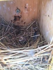 Nid Merlebleu - Eastern bluebird nest (Vicky A.) Tags: merlebleu merlebleudelest easternbluebird bluebird nest