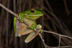 White-lipped Tree Frog (Litoria infrafrenata) (shaneblackfnq) Tags: whitelipped tree frog litoria infrafrenata shaneblack giant julatten amphibian tropics tropical fnq far north queensland australia