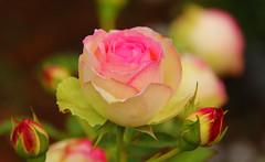 Roos Rozenfestival 2016 (ToJoLa) Tags: 2016 canon canoneos60d roos rose rozenfestival rozendorp lottum limburg colours platimunheartaward