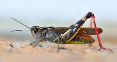 MRC_4096 (Obsies) Tags: insect insectos d4s macro microaf200mmf4 saltamontes grasshopper
