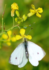 Hanging on (gordontour) Tags: nature wildlife ayrshire scotland clyde girvan cabbagewhite butterfly