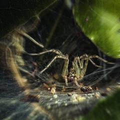 La tanière ..... (liofoto) Tags: canon eos6d sigma105mmmacro araigné arachnide spider tanière insecte insect macro hmm itsalive macromondays