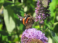23/8/2016, 236/365, Red Admiral IMG_4614 (tomylees) Tags: redadmiral butterfly ramsgate kent project 365 august 2016 tuesday 23rd