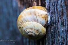 Escargot - Snail (Bouhsina Photography) Tags: macro nature bouhsina bouhsinaphotogrphy ttouan maroc morocco canon 7dii ef100macro bokeh snail arbre tree