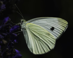 Butterfly_SAF7591-1 (sara97) Tags: butterfly copyright2016saraannefinke flyinginsect insect nature outdoors photobysaraannefinke pollinator saintlouismissouri towergerovepark