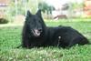 #Luna (Silvie,) Tags: pastorebelga cane stanco vecchiona verde natura portrait modella favouritemodel nikon