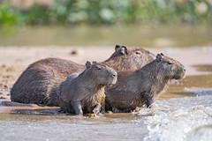 Capybaras at the river (Tambako the Jaguar) Tags: capybara rodent river coast bank water sitting waiting many cute portrait wildanimal wild wildlife nature pantanal matogrosso brazil nikon d5