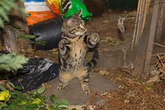 A left, then a right..... (ArtGordon1) Tags: death cat feline mouse thekill nature davegordon davidgordon daveartgordon davidagordon daveagordon artgordon1 london england uk walthamstow