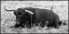 DER CHEF (AUG71) Tags: bulle schwarz weis black white natur tier outdoor gras weide wiese nasenring chef bull frame rahmen bild