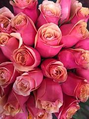 Rosas de duas cores. (Elias Rovielo) Tags: rosas roses laranja orange pink rosachoque rosa doublecolor duascores floricultura pétalas petals