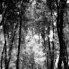 Trees In Water 093 (noahbw) Tags: captaindanielwrightwoods d5000 dof nikon abstract blackwhite blackandwhite blur branches bw depthoffield forest landscape leaves light monochrome natural noahbw reflection ripples square summer trees water woods