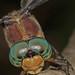 Great Blue Skimmer - Libellula vibrans, Occoquan Bay National Wildlife Refuge, Woodbridge, Virginia