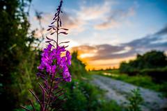 Wildflower Sunset (cogy) Tags: pink flower wild bank willowherb royal canal kilcock kildare ireland sunset