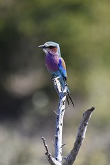 Lilac Breasted Roller (Tim Marshall 2013) Tags: safari kruger namibia southafrica giraffe zebra buffalo elephant rhino seal bird flamingo sunset nikon d810 200500mmf56 lilacbreastedroller