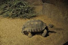 Tortoise (crwilliams) Tags: monterey california montereycounty unitedstates