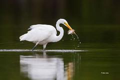 White Egret (Mike Veltri) Tags: mikeveltri birds avian september naturephtography ontario canada