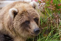"""Princess"" (spwasilla) Tags: wildlife alaska katmai katmainationalpark brownbear grizzly grizzlybear grass"