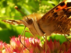 Painted Lady..x (lisa@lethen) Tags: painted lady sedum flower autumn sunshine colourful macro closeup nature wildlife butterfly pretty