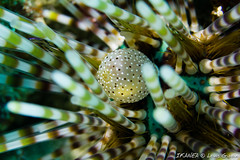 Double-spined Urchin-2170.jpg (lgiboin) Tags: macro indonesia travel underwater