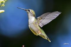 Ruby-throated Hummingbird (jt893x) Tags: 150600mm archilochuscolubris bif bird d500 hummingbird jt893x nikon nikond500 rubythroatedhummingbird sigma sigma150600mmf563dgoshsms sigmatc1401