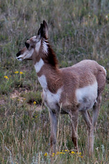 Baby Pronghorn (begineerphotos) Tags: canon utah antelope brycecanyon pronghorn pronghornantelope