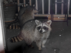 Raccoon's,. (John Mac Giolla Phdraig Leisen) Tags: pictures life new york wild usa fish news bird love nature birds john jack island fly dc long peace pics hawk conservation prey laurie fowl devlin foul hawks fitzpatrick migrating washinton sigel migrate a leisen mcnaulty jackleisen whatsupcom jackleisengmailcom mcnolte