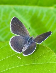 _DSC6780b (aeschylus18917) Tags: danielruyle aeschylus18917 danruyle druyle ダニエルルール ダニエル ルール japan 日本 nature macro nikon d700 nikond700 insect lepidoptera butterfly saitama saitamaprefecture 埼玉県 hannō 飯能市 koma iruma motokaji 元加治 105mmf28gvrmicro 105mmf28 nikkor105mmf28gvrmicro 105mm pxt lycaenidae plebejusargus silverstuddedblue ヒメシジミ edit