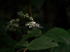2012-07-06 18-44-24 - DSC00682 (Hesperia2007) Tags: white plant flower leaf flora botany papuanewguinea habitat tropics oceania melastomataceae melastome