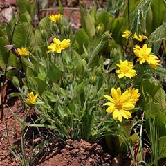 Aspilia foliacea