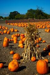 Pumpkin Field #4 (Charlie D