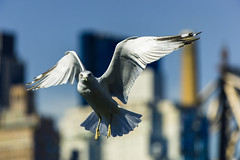 Seagul in Flight at Roosevelt Island (Diacritical) Tags: nyc newyorkcity bird iso400 flight f45 gps rooseveltisland seagul 2012 kelby d4 200mm 70200mmf28 nikond4 worldwidephotowalk sec