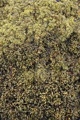 Seaweed at Ord (Keartona) Tags: uk sea detail skye beach nature landscape coast scotland natural ord
