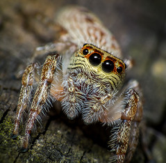 Jumping Spider (bareego) Tags: macro james spider jumping fuji australia finepix queensland niland dcr250 raynox hs10 jamesniland