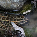 "Pickerel Frog (Rana palustris) - submerged in water • <a style=""font-size:0.8em;"" href=""http://www.flickr.com/photos/39798370@N00/8098796376/"" target=""_blank"">View on Flickr</a>"