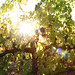 2012 Garden Creek Cabernet Harvest 0010