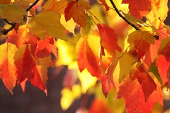 Orange & Yellow On Fire!!! (bigbrowneyez) Tags: autumn light sunlight fall beautiful leaves warm shadows dof candy bokeh gorgeous branches flames autumncolours delicious delightful onfire comforting flickrflames naturesbeauty changingcolours tendeness orangeyellowinlightshadows orangeyellowonfire